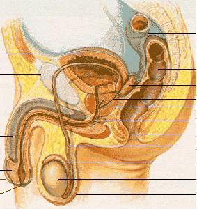 Male_anatomy1