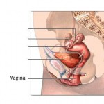 vagina-150x150
